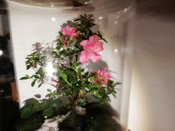 Bonsaï azalée en fleurs Vue 2, Terrariums créations végétales Lille Nat&Sens