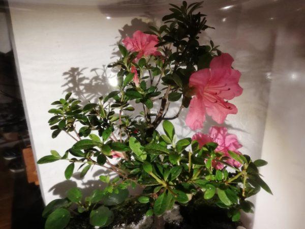 Bonsaï azalée en fleurs Vue 3, Terrariums Nat&Sens